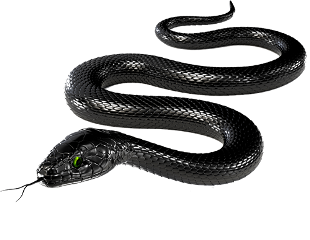 image freeuse download Drawing snake black mamba. Blackmamaba hanging climbing more