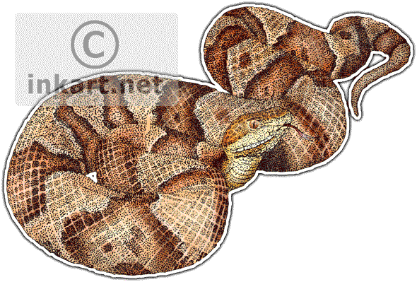 clip royalty free stock Wildlife art snakes northern. Drawing snake copperhead