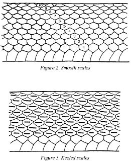 clip art royalty free Scale pattern in design. Drawing snake skin