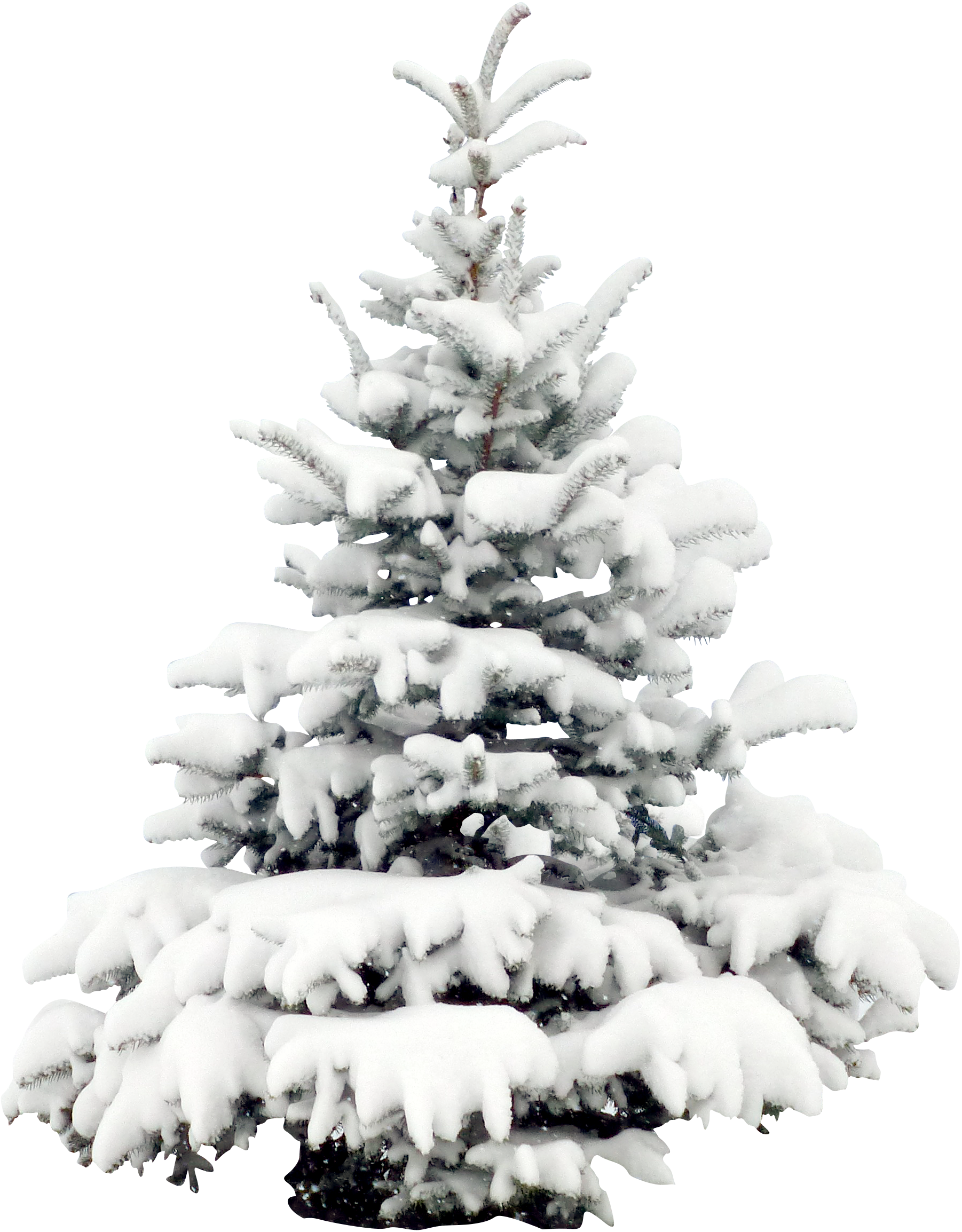 image royalty free download Pine christmas wallpaper transprent. Drawing snow tree