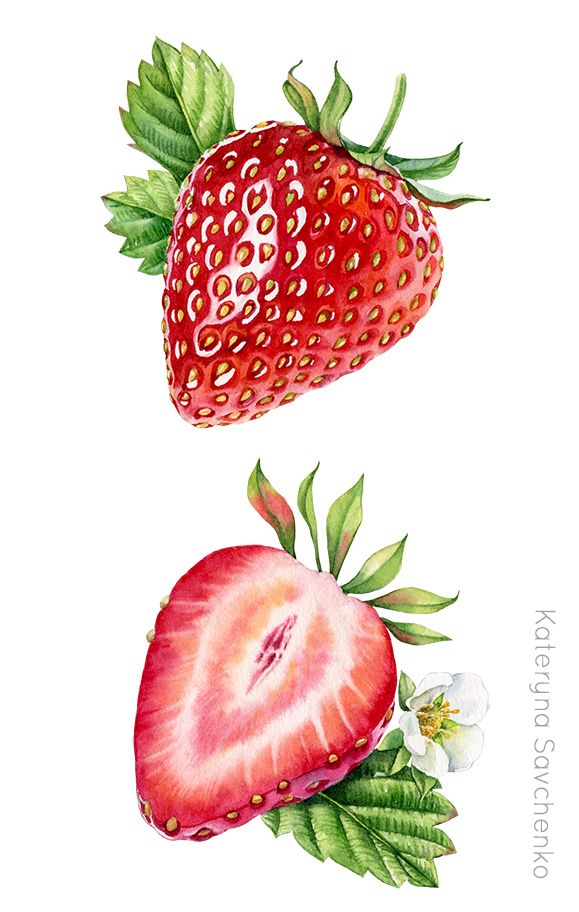 image transparent library Watercolor botanical illustration of. Drawing strawberries detailed