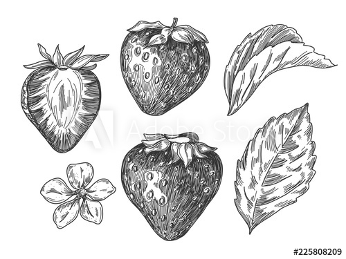 banner royalty free download Sketch pen and vintage. Drawing strawberries ink