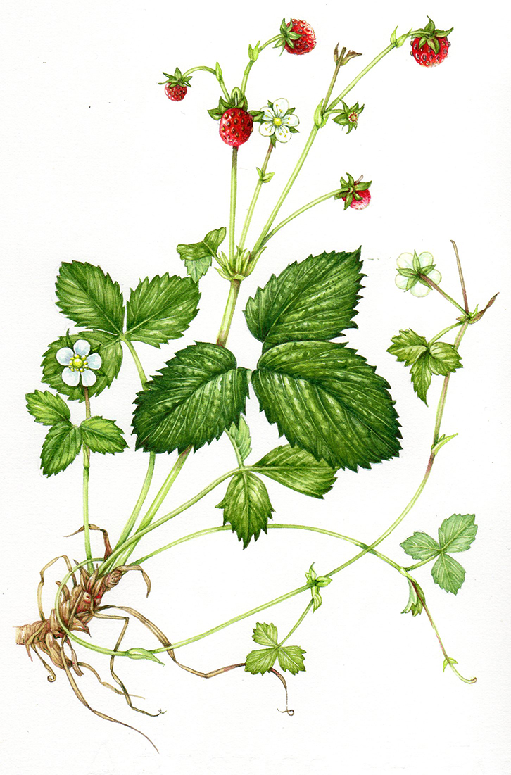 image free library Drawing strawberries wild strawberry. Step by illustration of