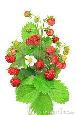 svg black and white stock Pictures of plants . Drawing strawberries wild strawberry