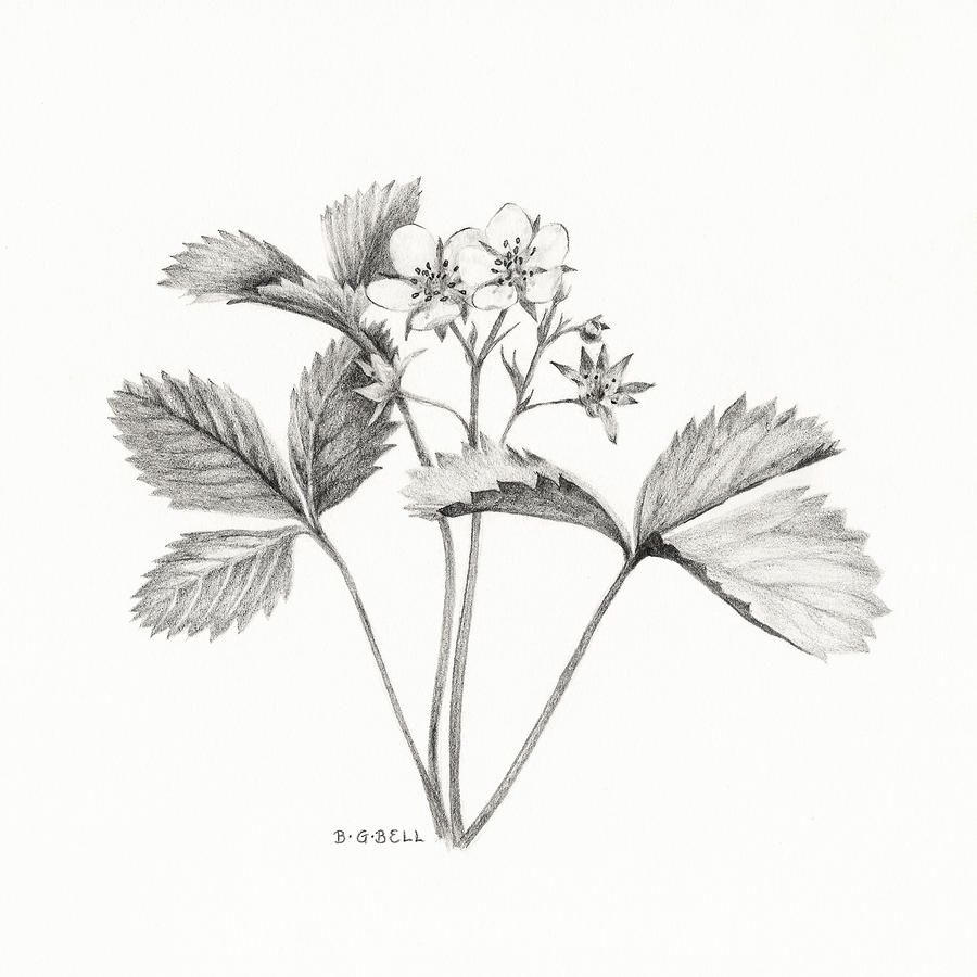 jpg black and white Drawing strawberries wild strawberry. Betsy gray bell in