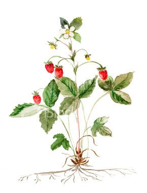 png library download Drawing strawberries wild strawberry. Ist botanical fruits