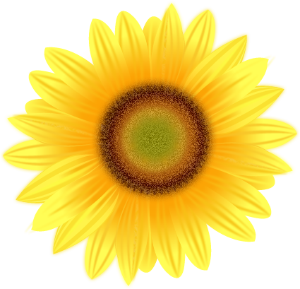picture free stock Vector sunflower realistic. Pencil drawing clipart panda