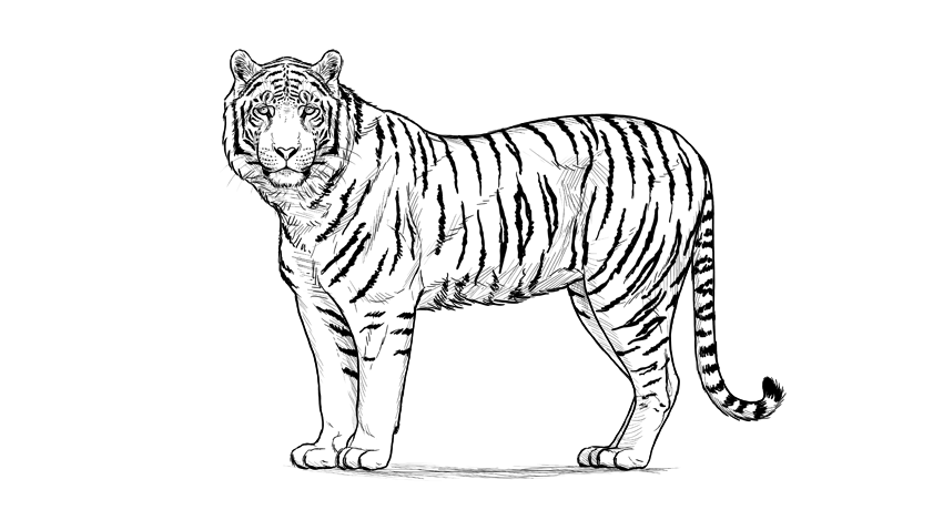 picture freeuse stock Drawing tiger. How to draw a