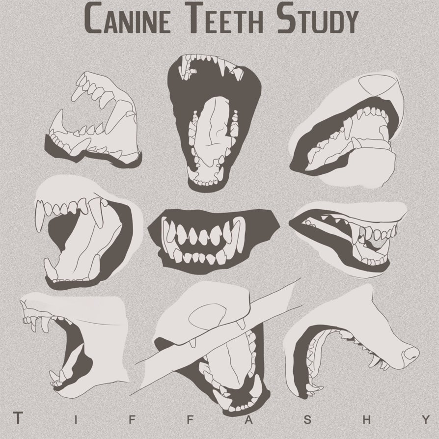 picture library library Anatomy notes incisors teeth. Drawing tooth front