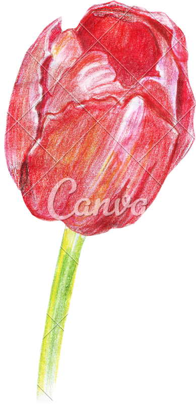 clipart transparent stock Hand Drawing of Colored Pencils Watercolor Tulip