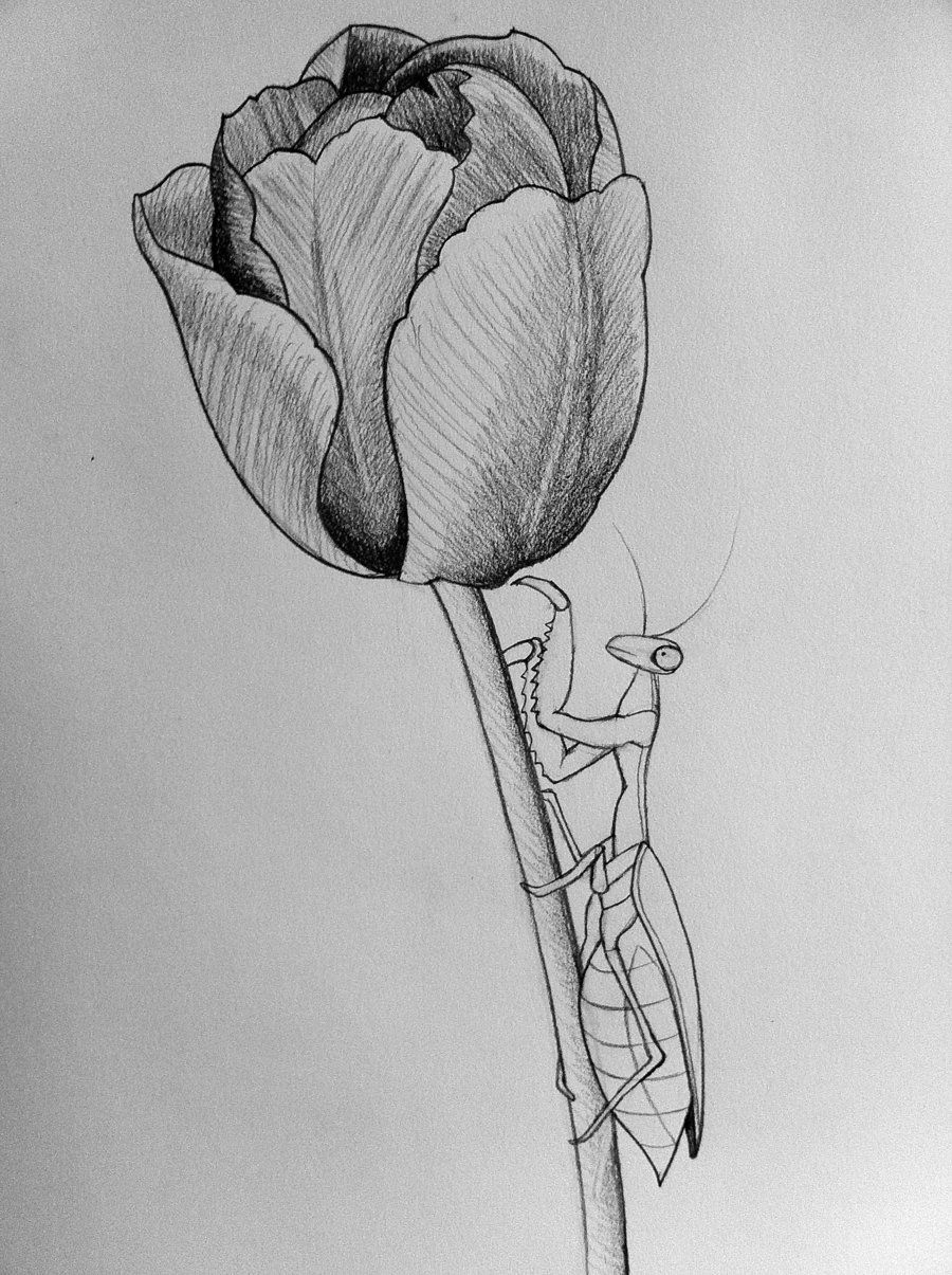 clip art royalty free stock Tulip line art by. Mantis drawing flower