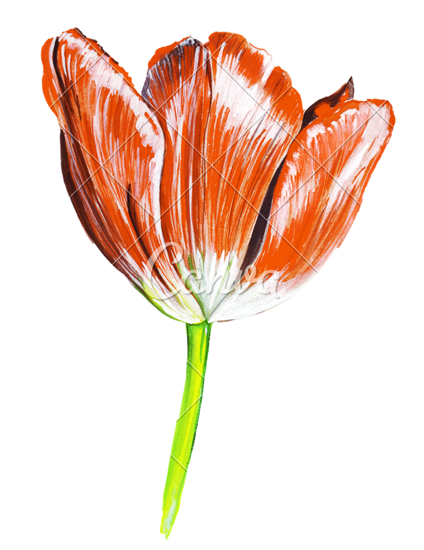 picture transparent library Hand Draw Watercolor Realistic Single Tulip Flower