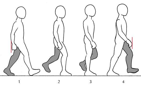 clip free library Human anatomy fundamentals additional. Drawing walking