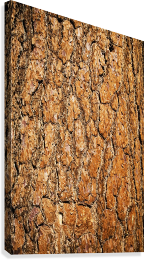 picture transparent download Close up of ponderosa pine tree bark in the san jacinto mountains