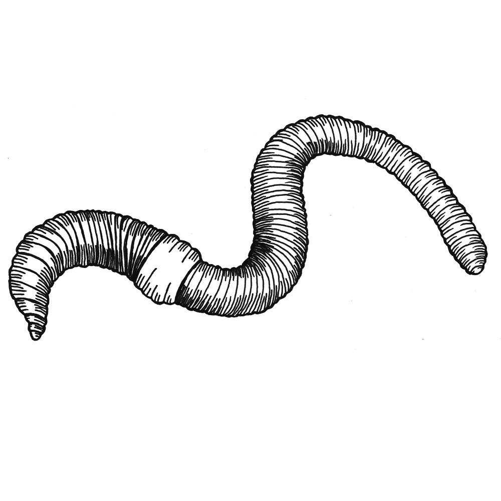 clip art freeuse stock Earthworm drawing. The project sara moledor.