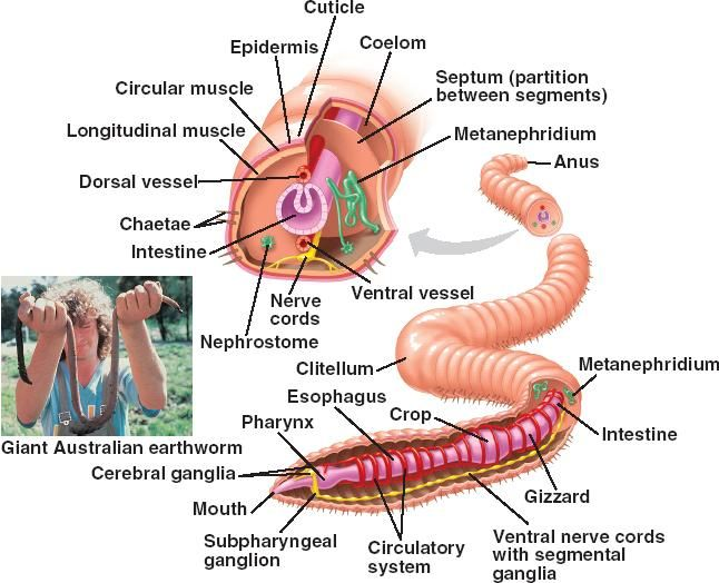 banner transparent library Earthworm Phylum Annelida