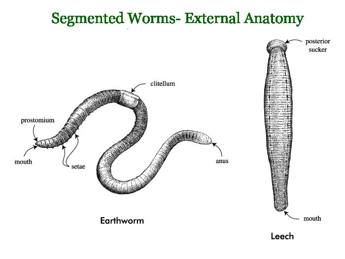 image freeuse stock segmented worms