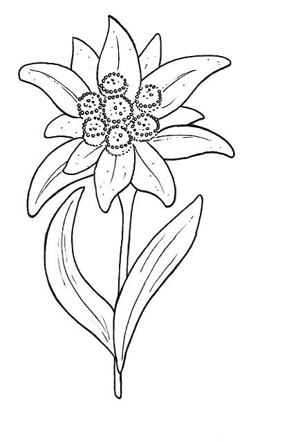 clip download edelweiss flower