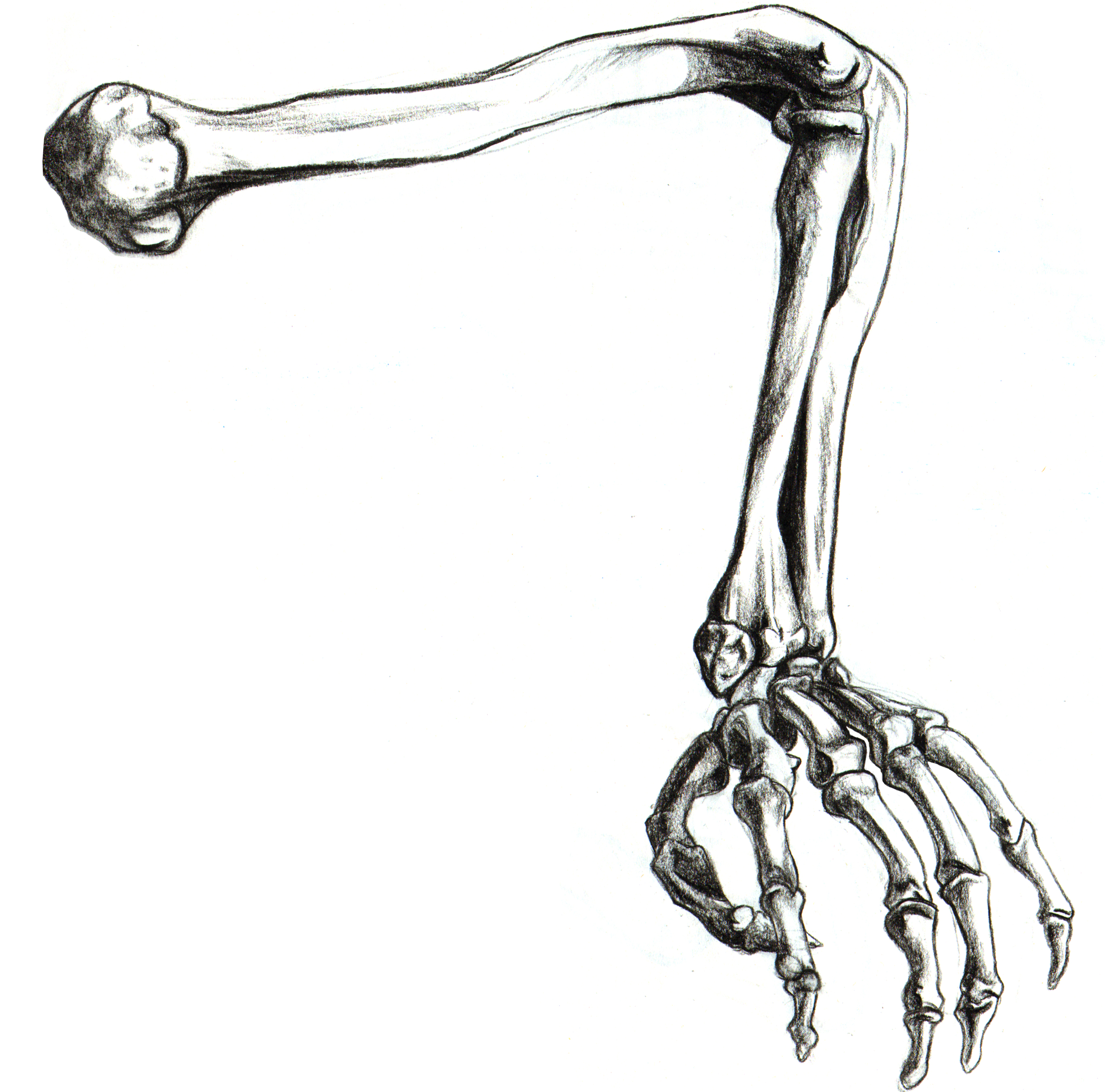 vector freeuse stock Free download clip art. Skeleton arm clipart.