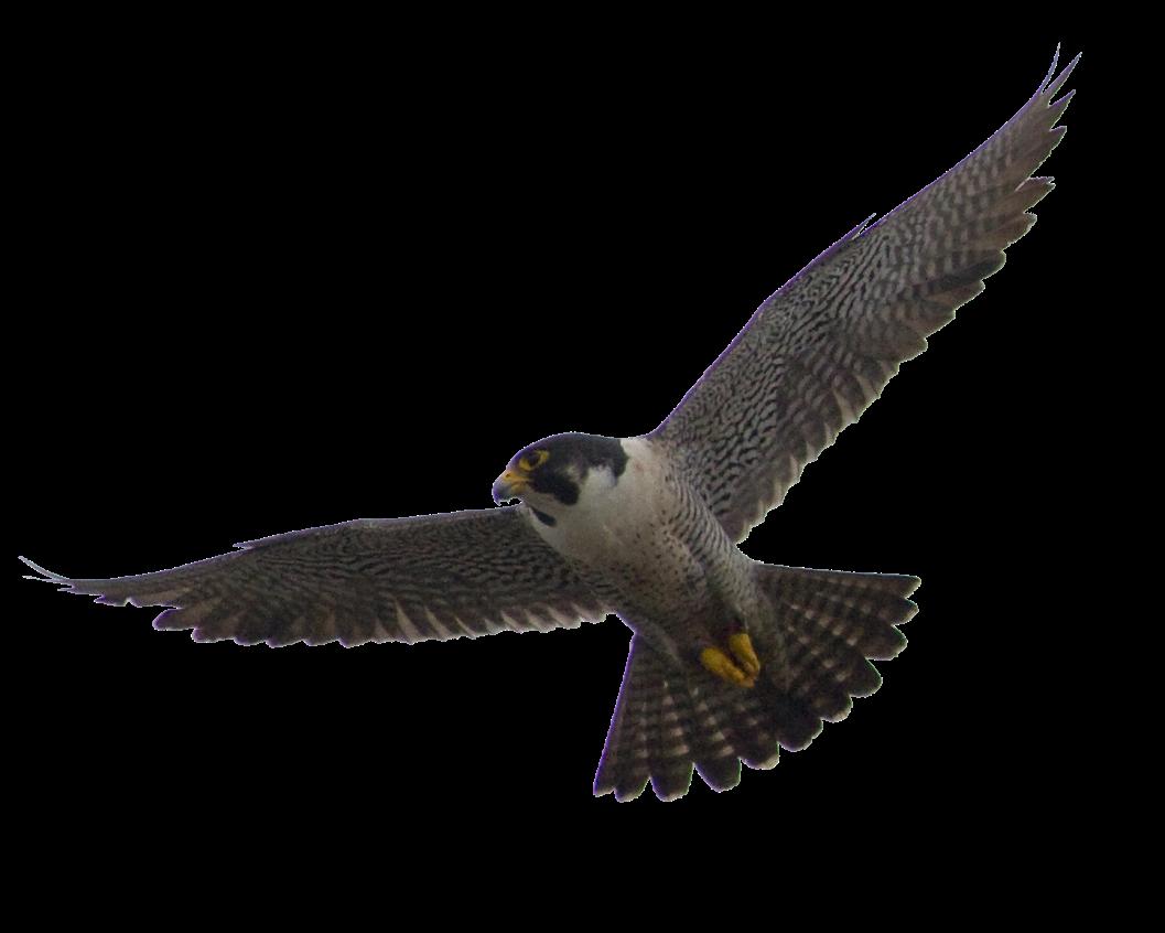clip stock Falcon PNG