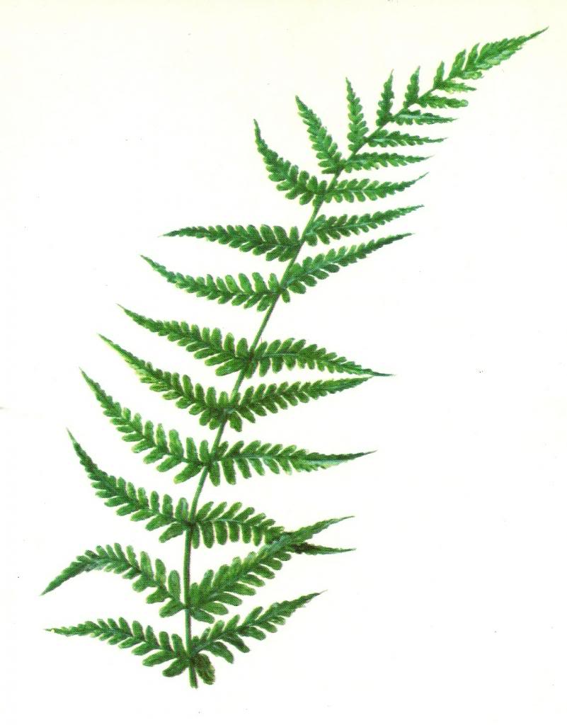graphic black and white library Fern clipart. Free cliparts download clip.