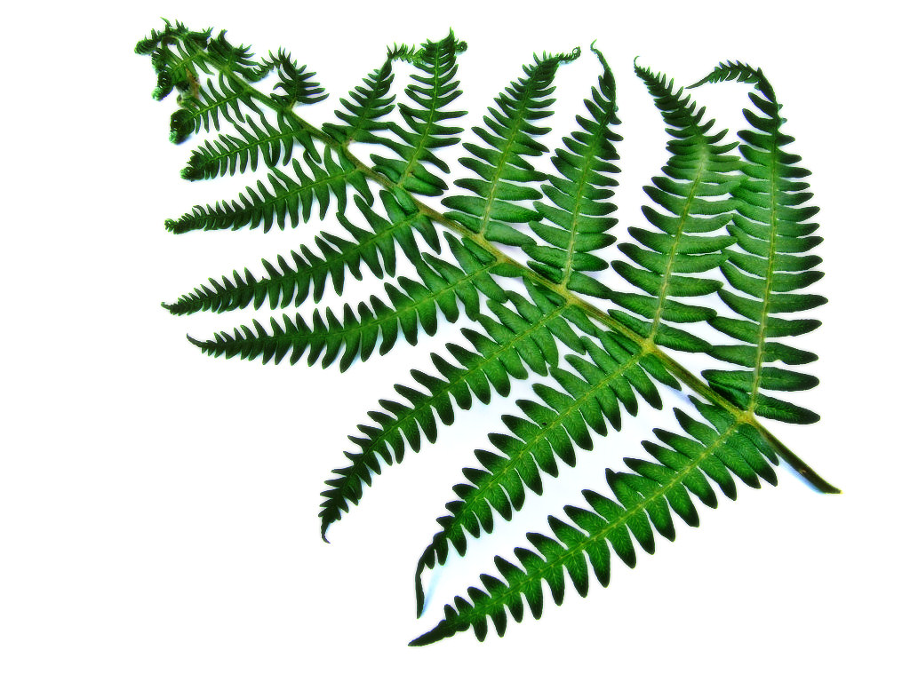 clip art royalty free stock  clip art clipartlook. Fern clipart