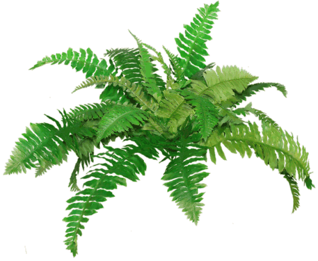 clip library Fern Clipart transparent background