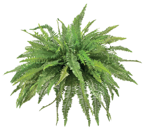 image freeuse fern transparent pixel #112803989