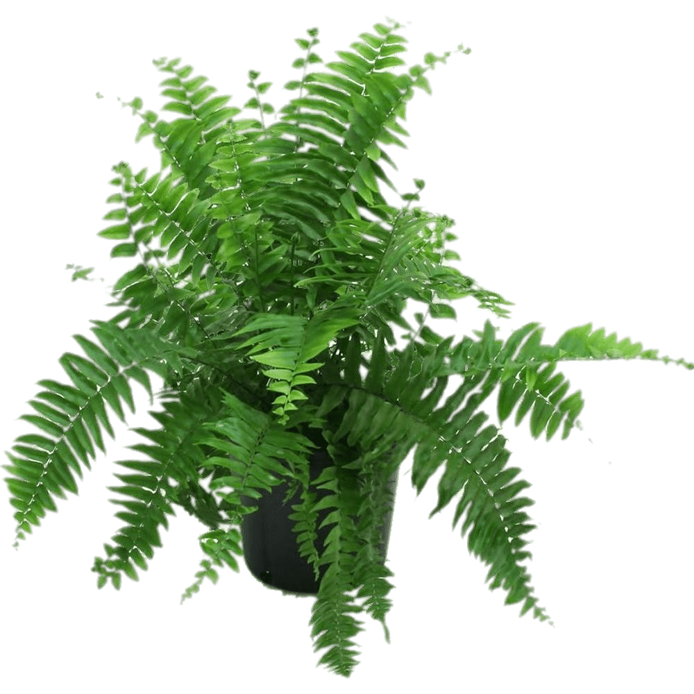 royalty free stock Fern In Black Pot transparent PNG