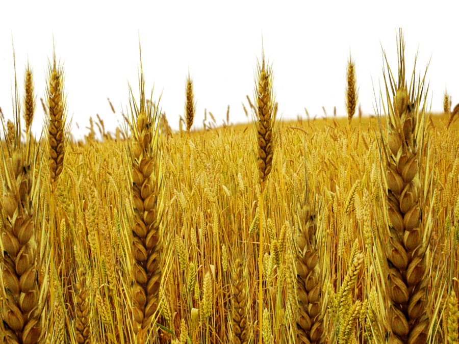 banner royalty free download Png transparent images pluspng. Field of wheat clipart