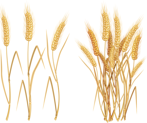 image library library Field of wheat clipart.  f ffe ff
