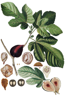 clip royalty free library Fig drawing. Feige png figos figs