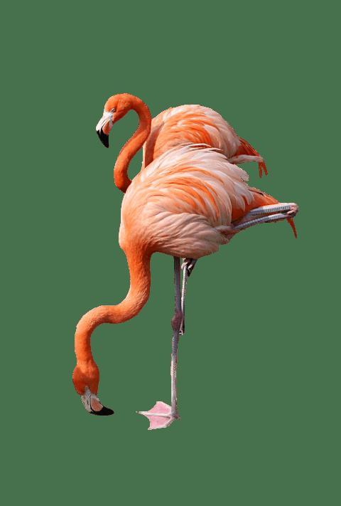 image flamingo png