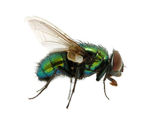 clip art library stock Fly high quality png. Flies clipart transparent