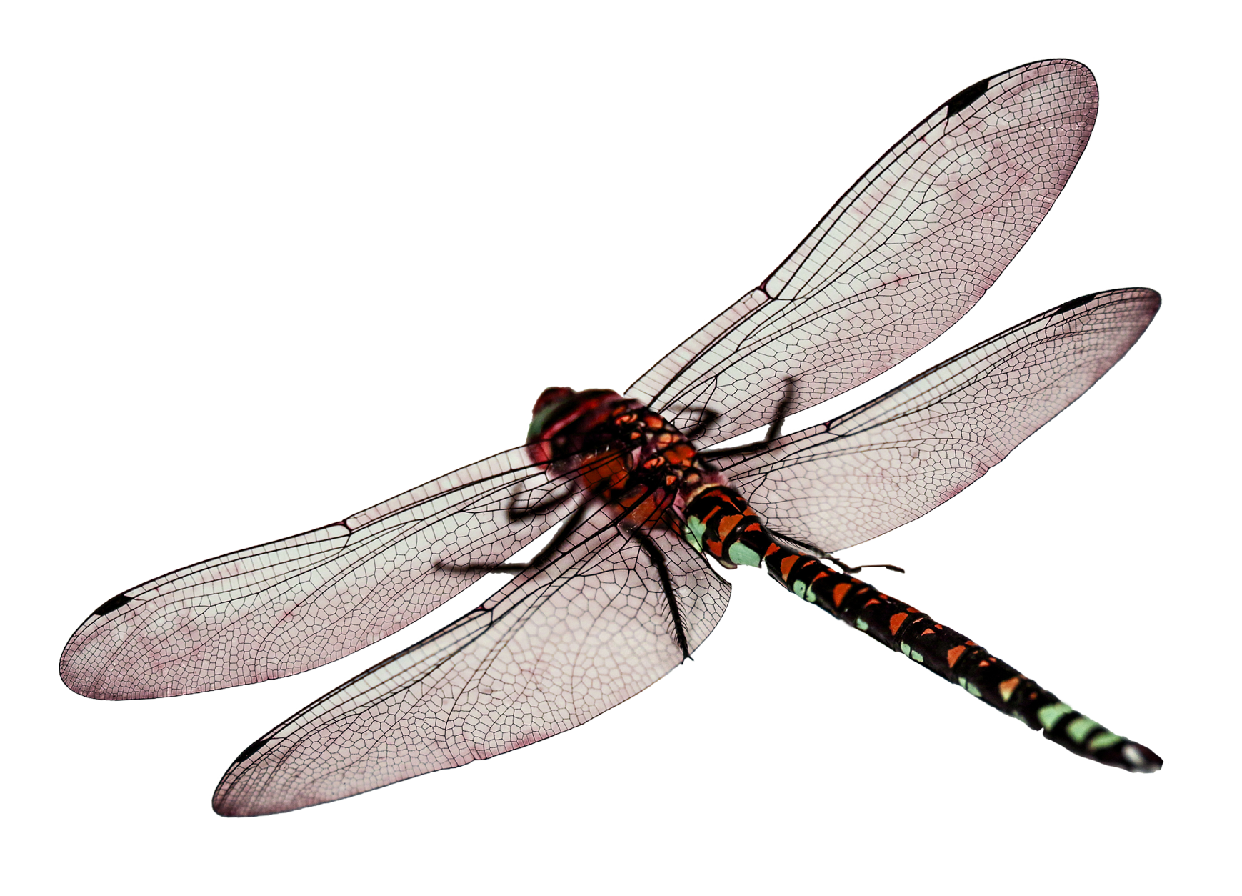 picture royalty free vector dragonfly dragon fly #118055792