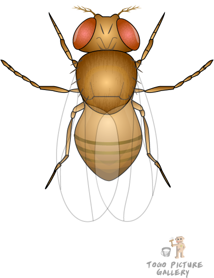 banner black and white Collection of free Flies clipart drosophila