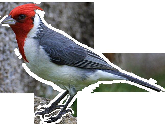 png free download Brazilian Bird Clipart