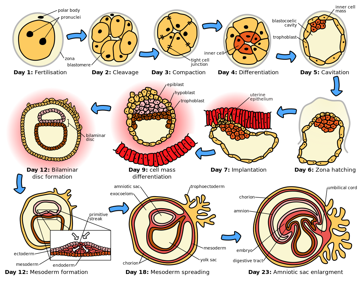clipart download Ontogeny