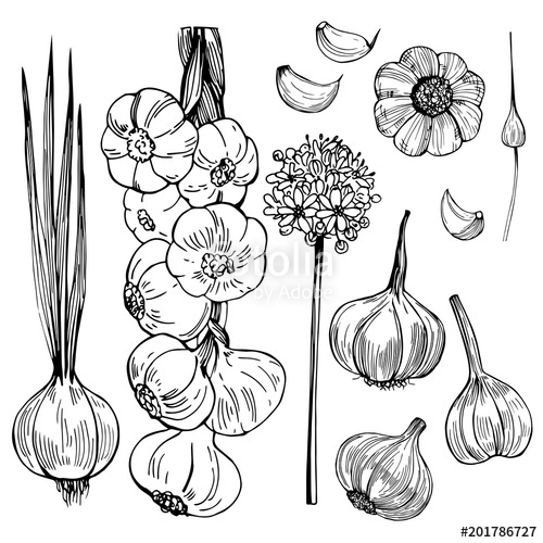 clipart free library Garlic vector. Hand drawn sketch illustration
