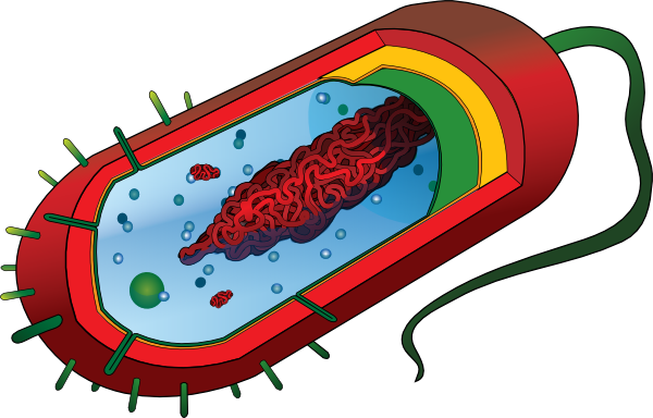 png free Bacteria clipart bacteria cell