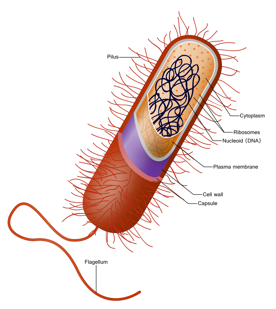 graphic freeuse library Germ clipart unicellular organism. Prokaryote wikipedia diagram of.
