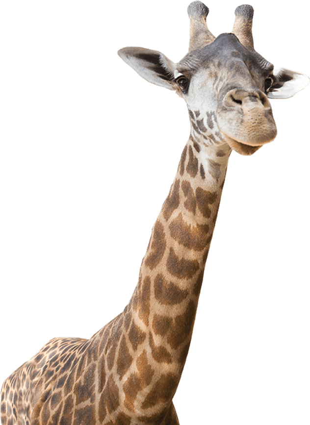 freeuse download Giraffe clipart realistic. Real animal png transparent
