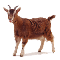 free Download free png photo. Goat clipart cinderella