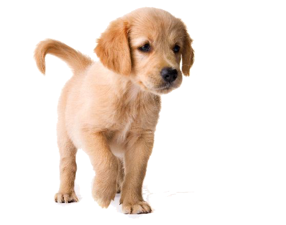 clip royalty free stock Golden Retriever Puppy PNG Image