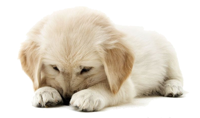 graphic royalty free Golden retriever clipart. Puppy png mart