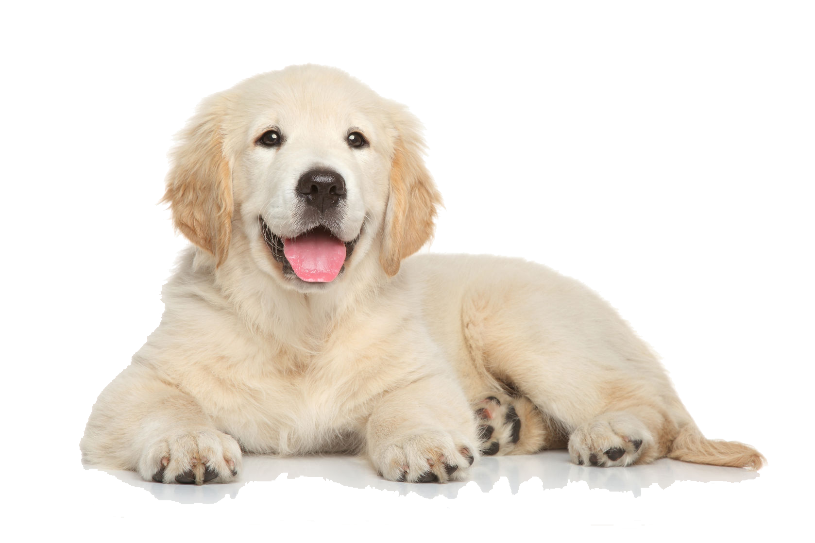 jpg free download Golden retriever clipart. Puppy png file .
