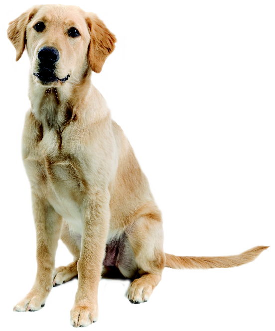 clipart free Png images rendering pinterest. Golden retriever clipart gold dog