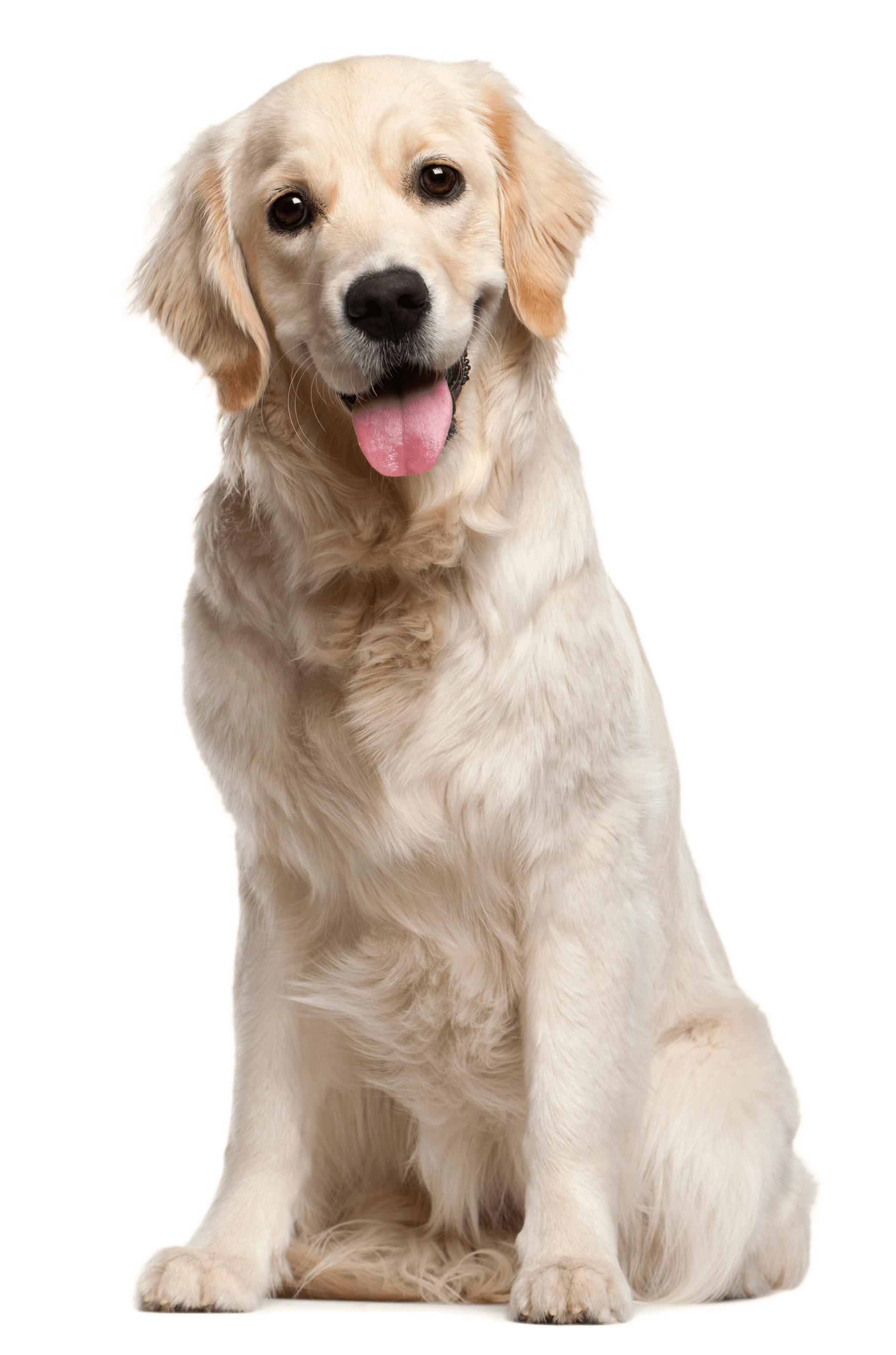 picture transparent download Golden retriever clipart one dog. Strategies on how to