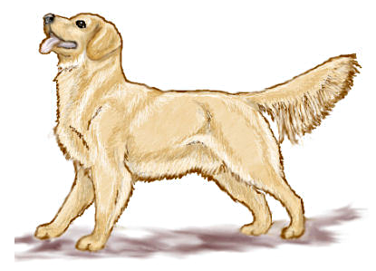 clip free library Pencil and in color. Golden retriever clipart realistic dog