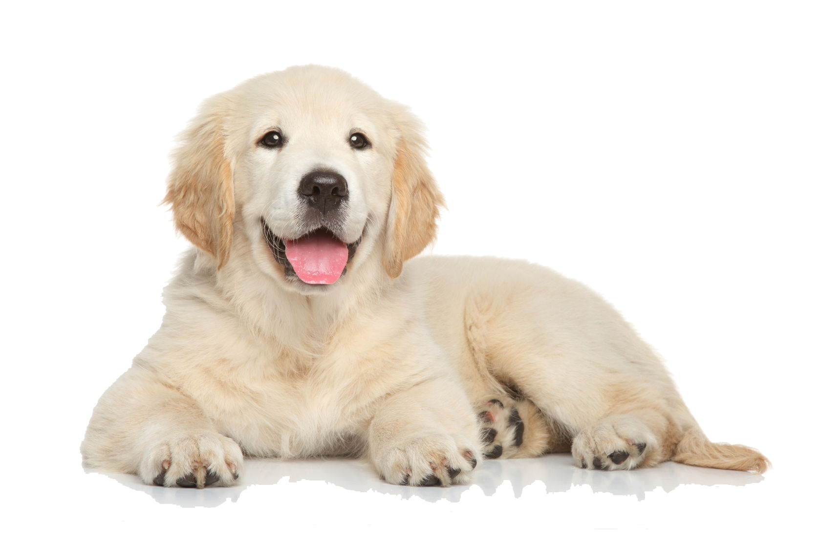 vector free library Golden retriever clipart transparent. Png images free download